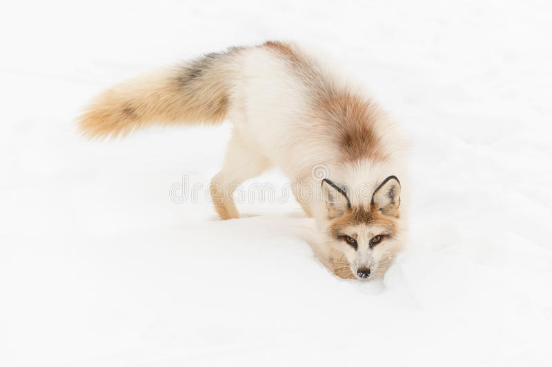 Red Marble Fox Vulpes vulpes Digs in Snow. Captive animal stock photos