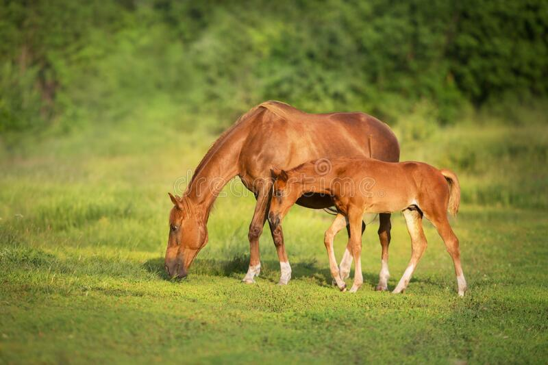 Red mare and foal grazing royalty free stock photography