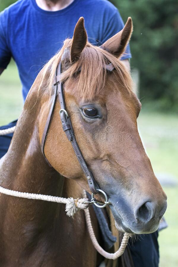 Red mare horse portrait with bit and bridle stock photos