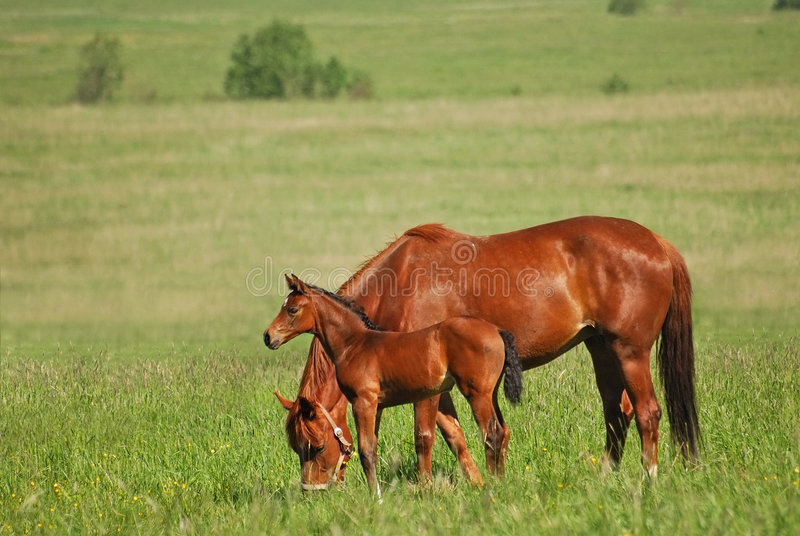 Download Red mare and red colt stock image. Image of steppe, meadow - 3703827