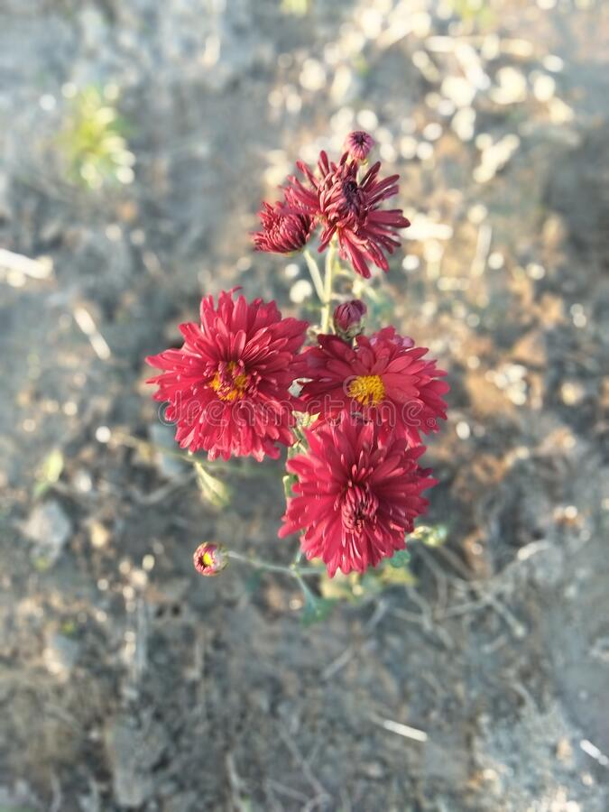 Red Marigold Flowers stock photography