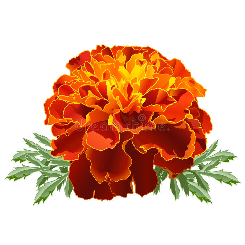 Free Red Marigold (Tagetes) Stock Photo - 22779130