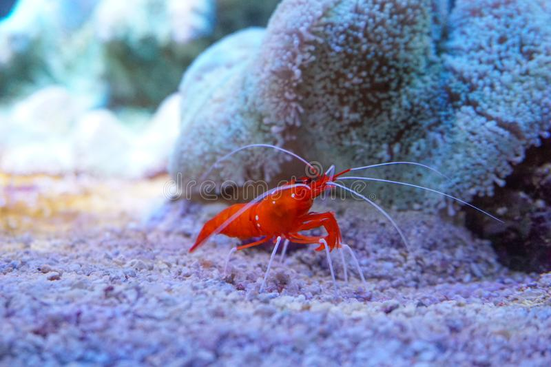 Red marine shrimp Lysmata debelius stock photo