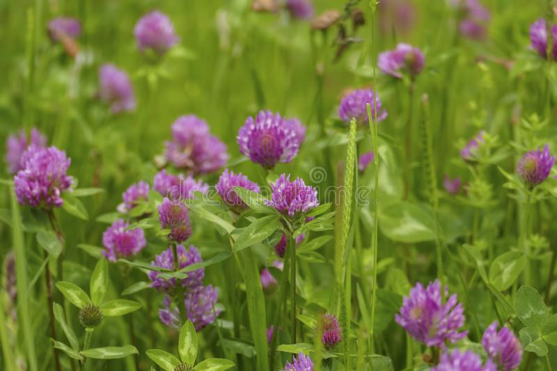 Of red meadows clover plant, with mauve, violet of coloured blossom, green sheets, on the meadow. Of red meadows clover plant, with mauve, violet of coloured stock image