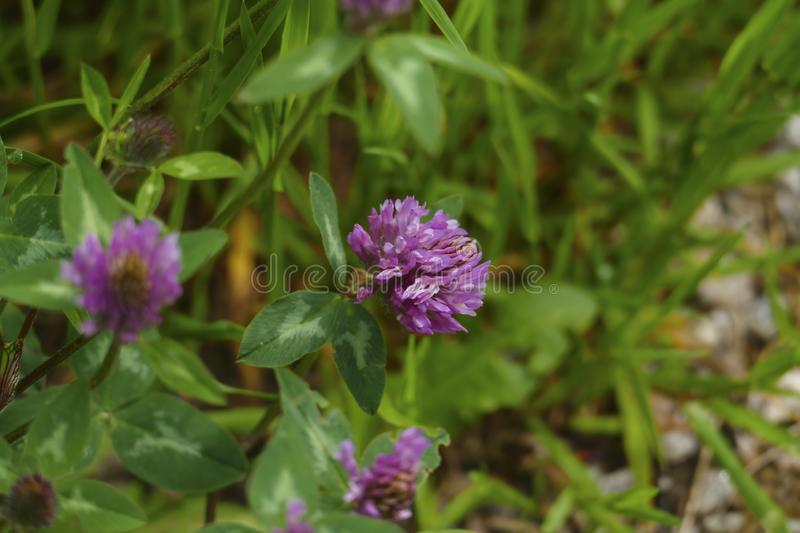 Of red meadows clover plant, with mauve, violet of coloured blossom, green sheets, on the meadow. Of red meadows clover plant, with mauve, violet of coloured royalty free stock photos