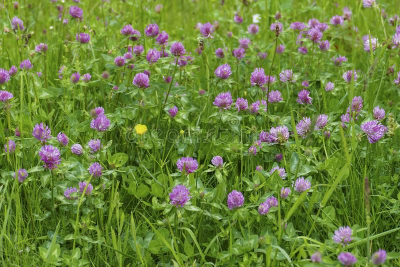 Of red meadows clover plant, with mauve, violet of coloured blossom, green sheets, on the meadow. Of red meadows clover plant, with mauve, violet of coloured royalty free stock photo
