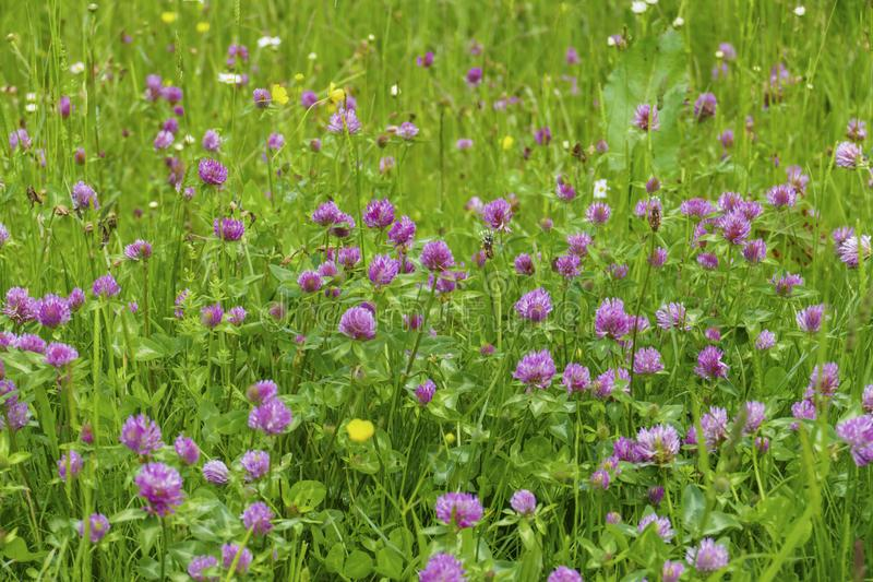 Of red meadows clover plant, with mauve, violet of coloured blossom, green sheets, on the meadow. Of red meadows clover plant, with mauve, violet of coloured royalty free stock images