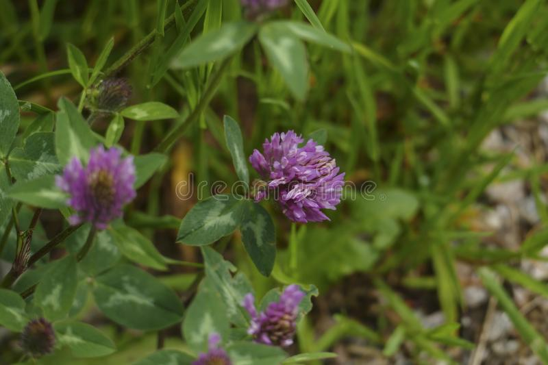 Of red meadows clover plant, with mauve, violet of coloured blossom, green sheets, on the meadow. Of red meadows clover plant, with mauve, violet of coloured stock photos
