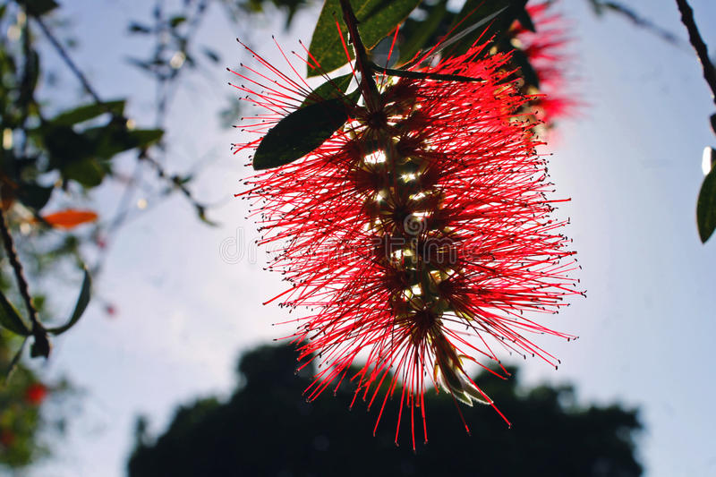 Red Melaleuca. Scientific name as Melaleuca viridiflora, in the afternoon sunlight royalty free stock images