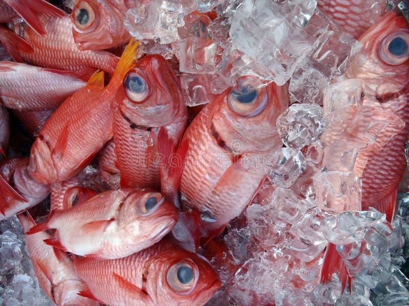 Red Menpachi on Ice stock photos
