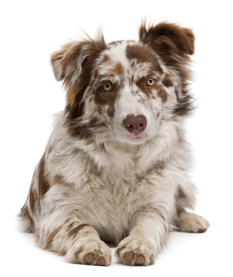 Red Merle Border Collie, 6 months old, lying. In front of white background royalty free stock photo