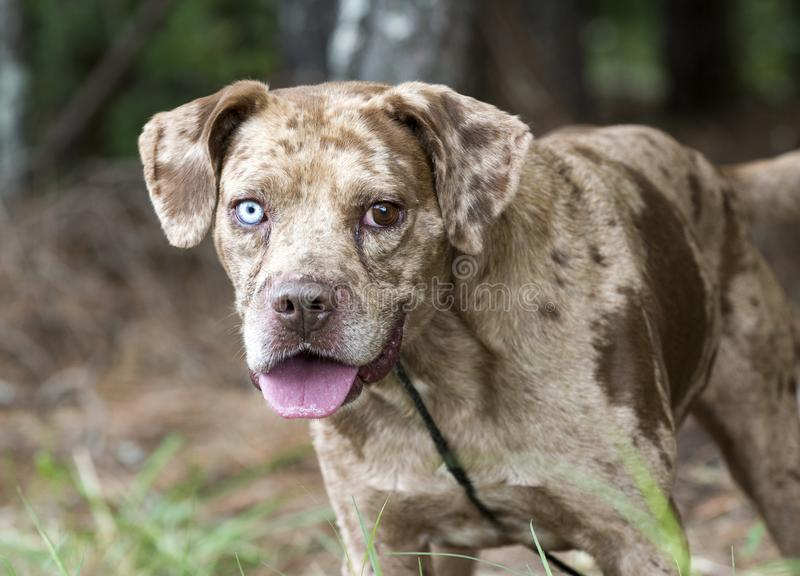 Red merle Catahoula Leopard Dog outdoors on leash. Red merle dapple Catahoula mixed dog, unneutered male with one blue eye. Panting tongue. Animal shelter pet royalty free stock photography