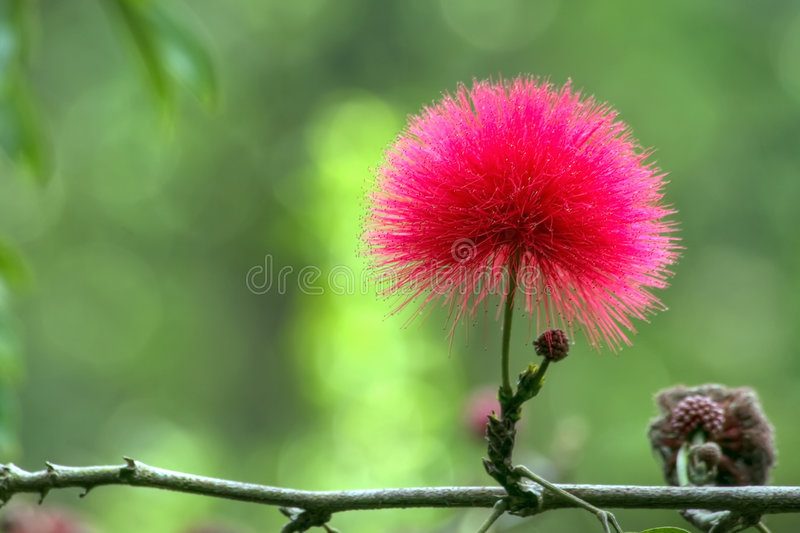 Red mimosa flower stock images