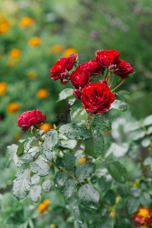 Red mini roses after rain. In the garden royalty free stock photos