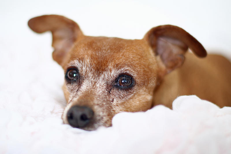 Red miniature pinscher. A small red miniature pinscher lying on a white blanket. Dog is older and has a graying face stock photo