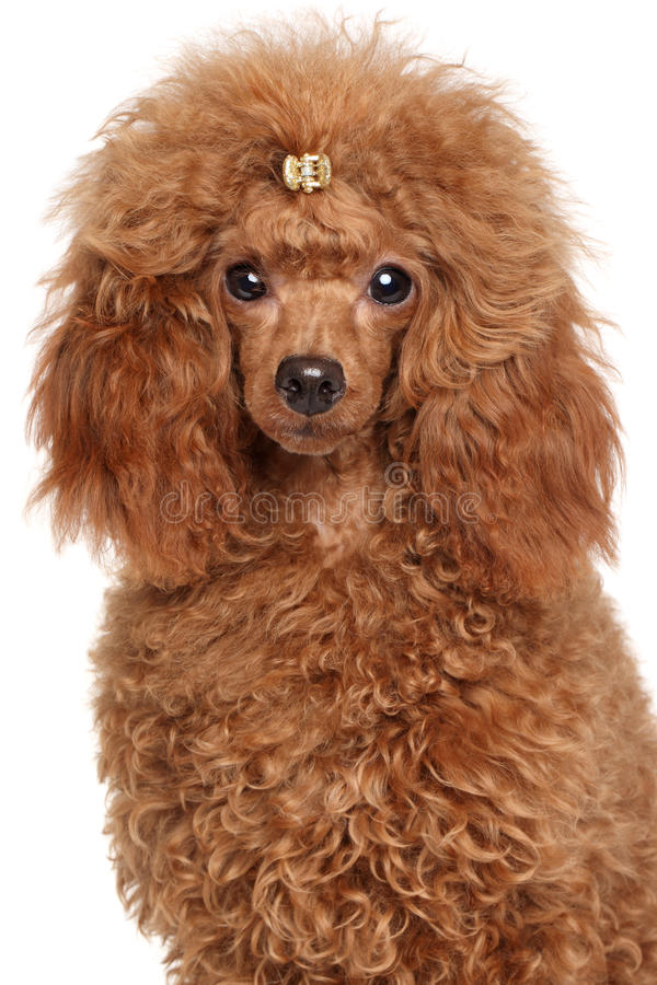 Red Miniature poodle. Close-up portrait on a white background royalty free stock image