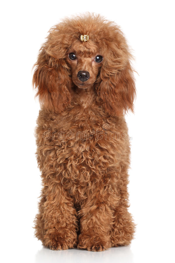 Red Miniature poodle. Portrait on white background royalty free stock photo