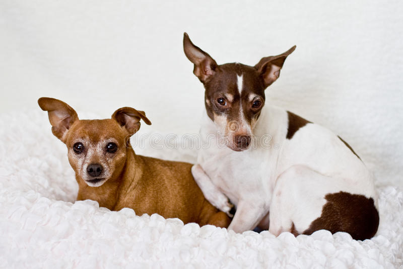 Red minpin and rat terrier dogs. A small red miniature pinscher lying by a tri-color rat terrier. Terrier is white with chocolate and tan markings. Both dogs are royalty free stock photos