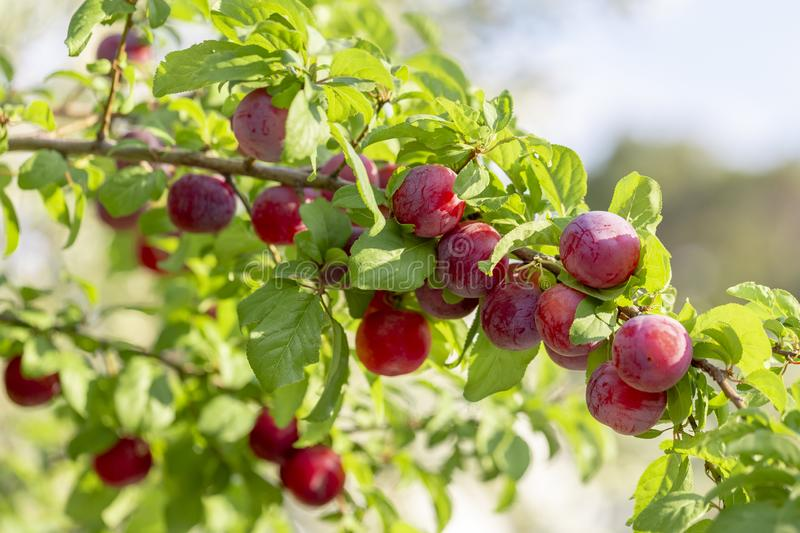 Red mirabelle cherry plums - Prunus domestica syriaca lit by sun, growing on wild tree. royalty free stock image