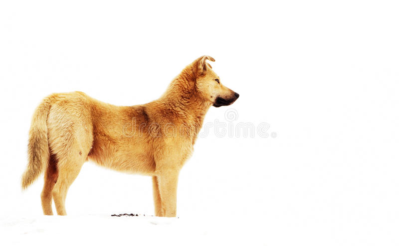 Download Red mongrel stock photo. Image of gazing, obedient, snow - 29440958