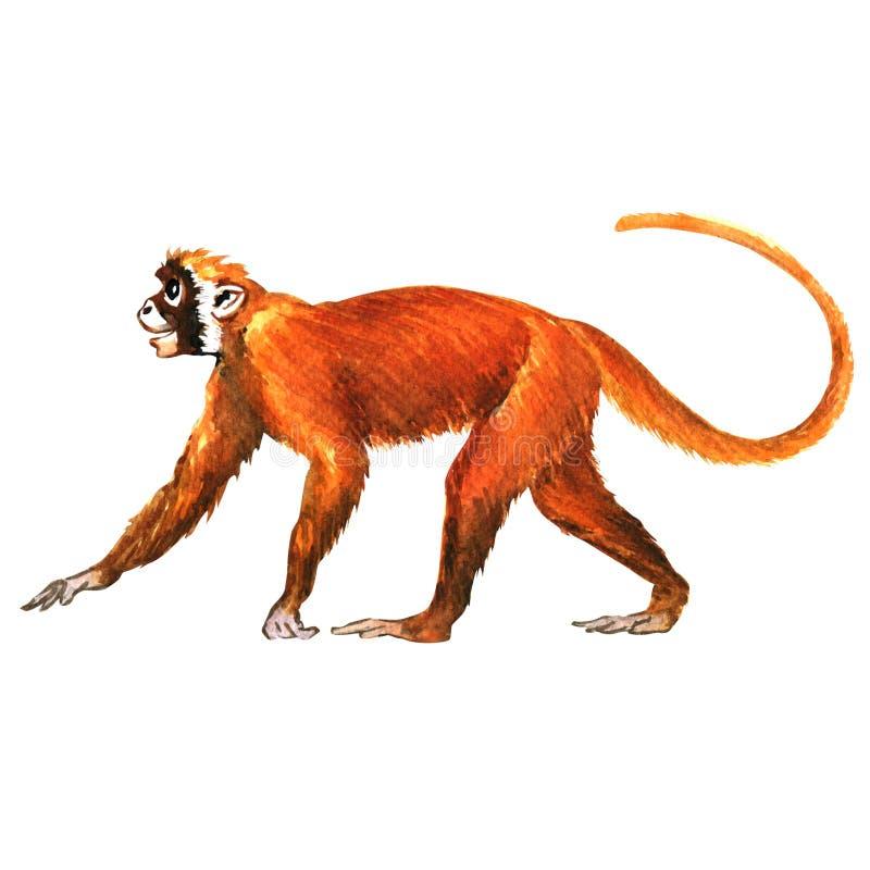 red monkey animal isolated stock illustration image 59452760. Black Bedroom Furniture Sets. Home Design Ideas
