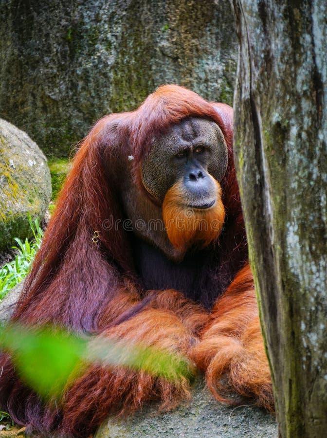 Red Monkey en el parque fotos de archivo