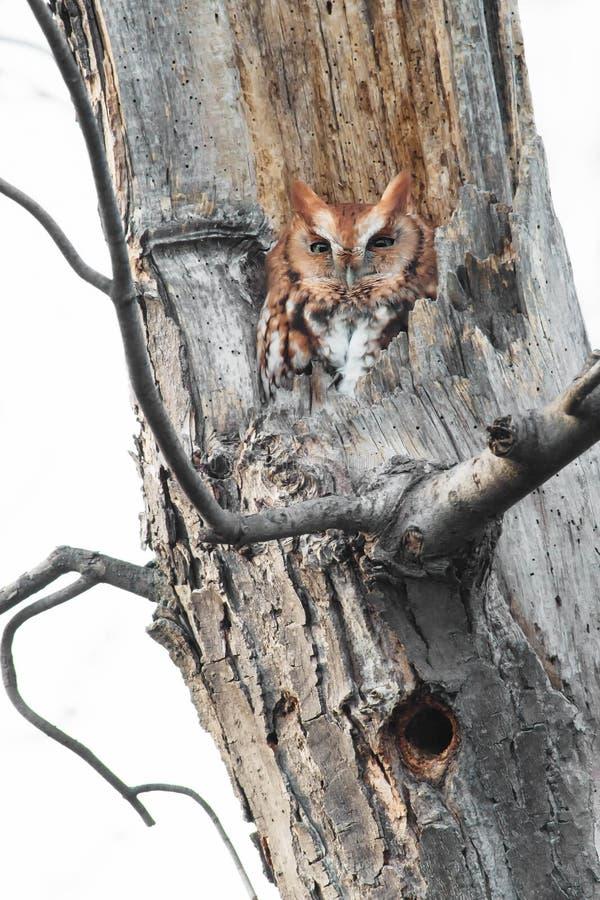 Download Eastern Screech Owl stock photo. Image of canadian, burlington - 109593436