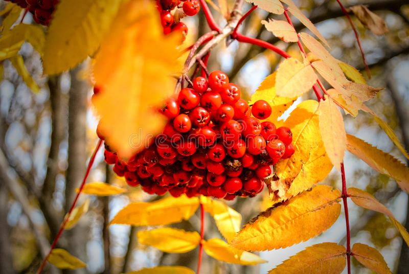 Red Mountain ash in autumn. Little red fruit surrounded by bright yellow leaf. sunny fall days, colorful stock photo