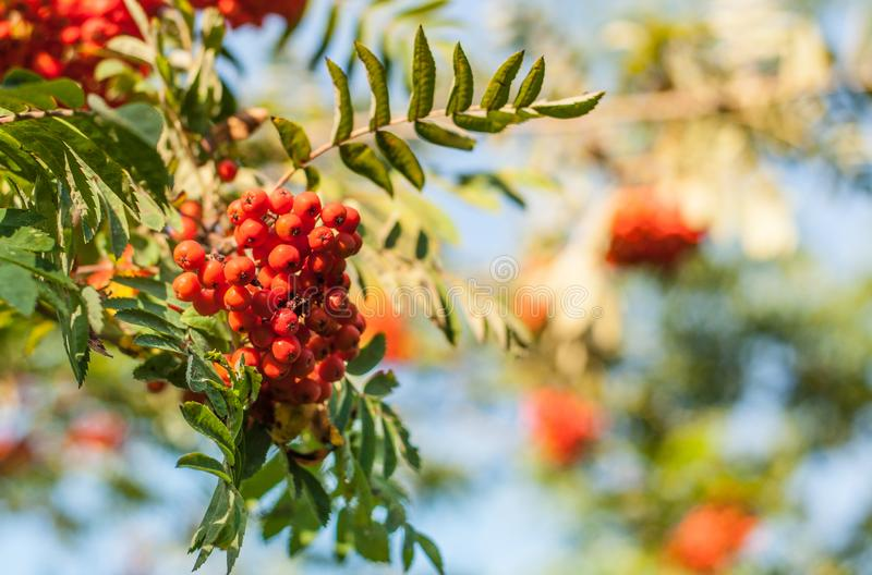 Red mountain ash berries on a brunch. With blue sky blurred background, golden hour royalty free stock photography