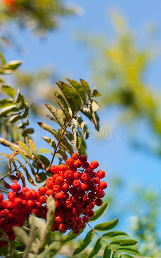 Red mountain ash berries on a brunch. With blue sky blurred background, golden hour stock image