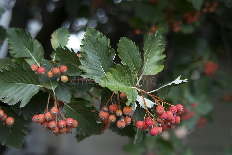 Red mountain ash branch closeup. Red mountain ash on branch close up rowan ashberry stock images