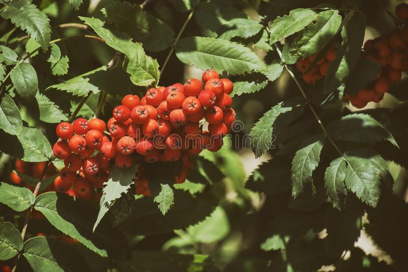 Red mountain ash on a branch in the green foliage. Sorbus aucuparia royalty free stock photography