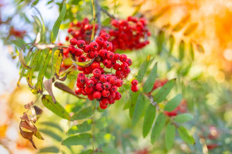 Red mountain ash on a branch, macro photo with selective focus.autumnal colorful red rowan branch.red ripe rowan berry. Red mountain ash on a branch, macro photo royalty free stock image
