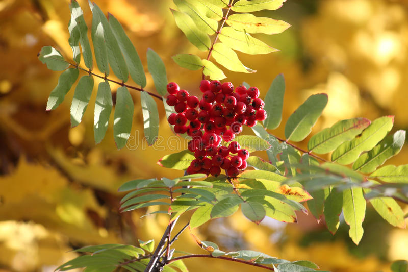 Red mountain ash. A branch of red mountain ash. Rowan is ripe. Rowan berries rich red, bright, shiny stock images