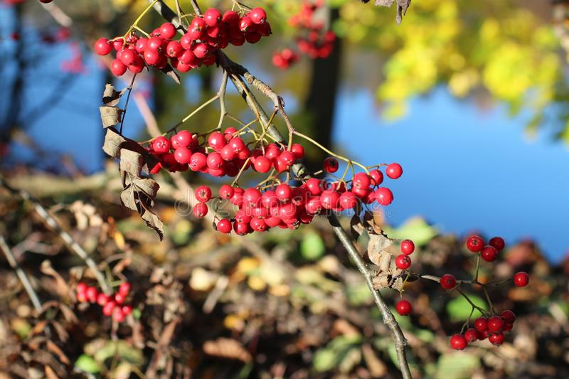 Red mountain ash on branches. Bunches of red mountain ash on the branches in autumn stock photography