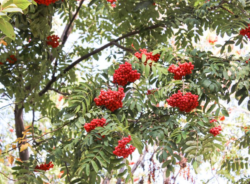 Red mountain ash. Bunches of red mountain ash hanging from the trees stock images