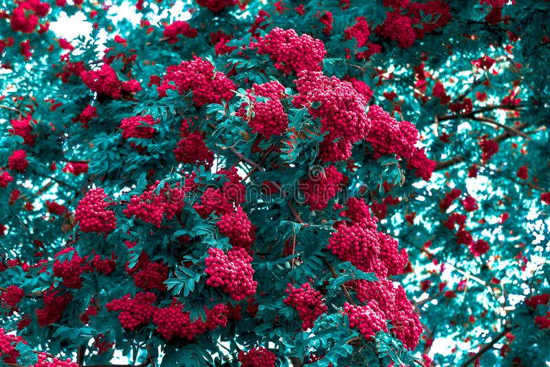 Red mountain ash close up. Green foliage of a tree with berries royalty free stock images