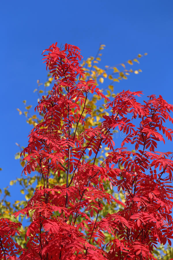 Red mountain ash in the fall. Sorbus aucuparia. Red leaves of a mountain ash against the blue sky royalty free stock photography