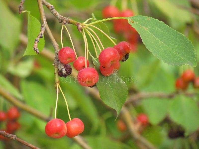 Red mountain ash green background berries on a branch wiht leaves. Nview with mountain ash berries on a branch with leaves green background n stock photo