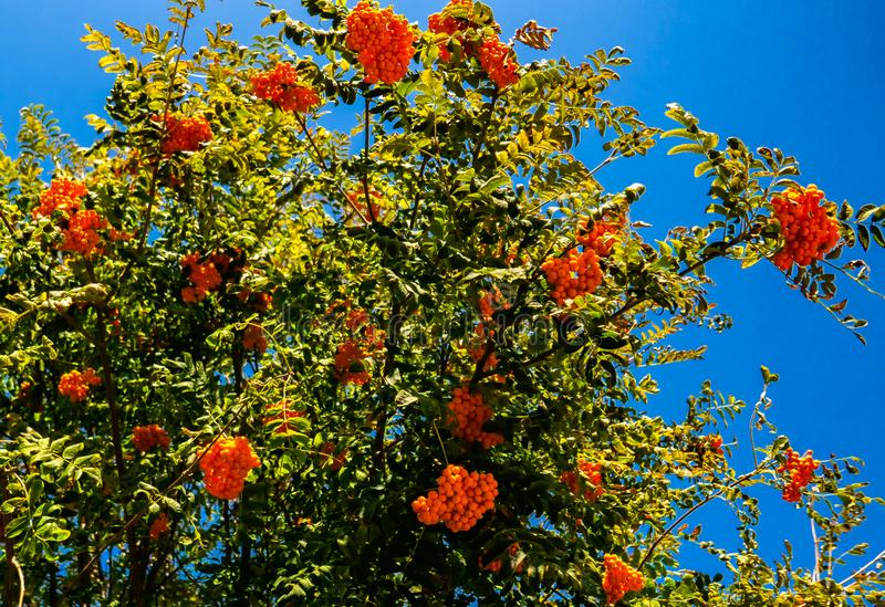 Red mountain ash growing on a tree in the park. Red mountain ash growing on a tree in a park against a blue sky stock photo