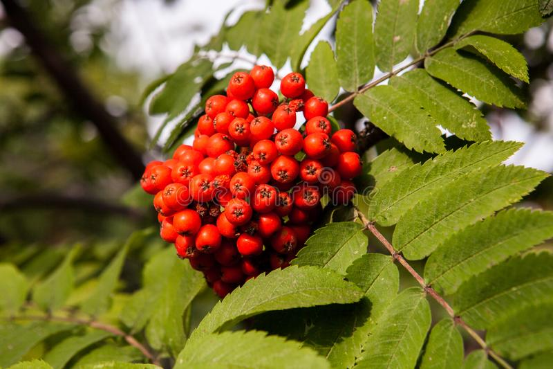 Red mountain ash harvest royalty free stock photo
