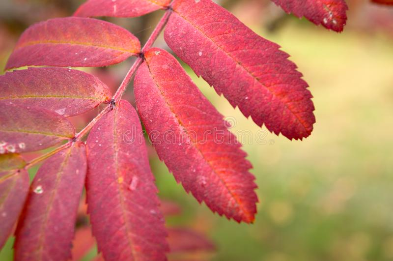 Red Mountain Ash Leaf royalty free stock image