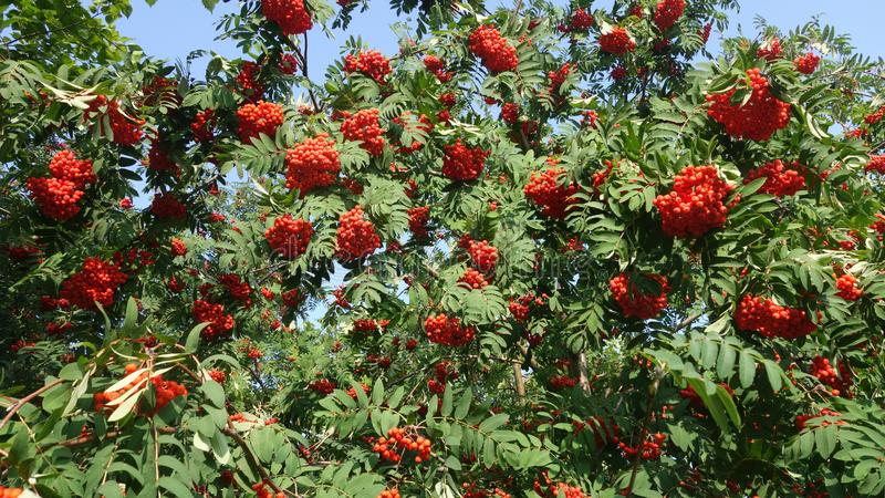 A red mountain ash among the leaves royalty free stock photo