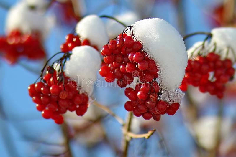 Red mountain ash in white snow. The first autumn frost. Red and White. Icy rowan branch. Closeup. stock photography
