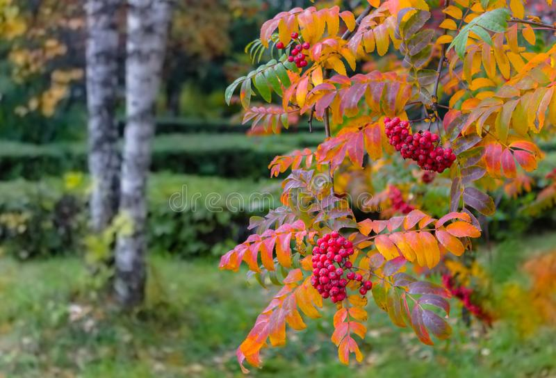 Red mountain ash with yellow leaves in autumn in city park. Red ripe rowan hanging big bundles with twigs trees in an autumn park stock image