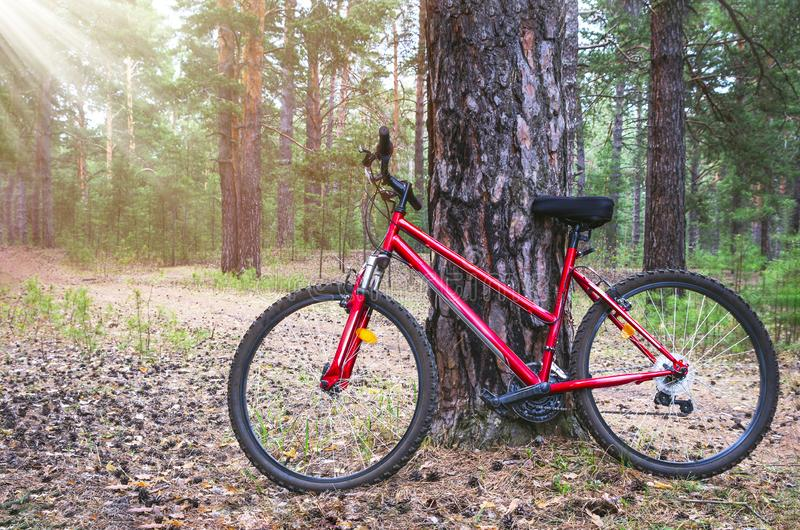 Red Mountain Bike, Bicycle Parked by a Big Pine Tree Trunk near The Forest Trail. Summer Morning with Sun Beams.  royalty free stock photo