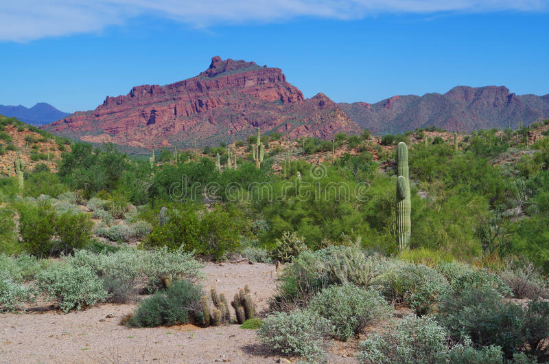 Red Mountain, green brush and saguaro cactus. Red Mountain in Arizona seen behind sage brush green from recent rains. Familiar saguaro cactus populate the desert royalty free stock images