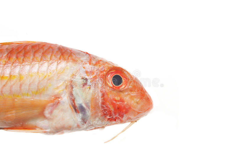 Red Mullet closeup royalty free stock images