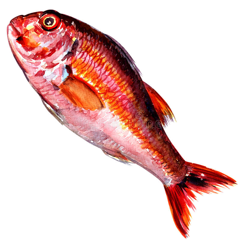 Red mullet fish isolated watercolor on white stock for Red mullet fish