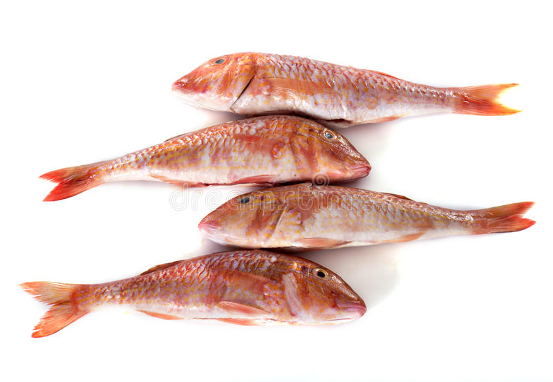 Red mullet stock image